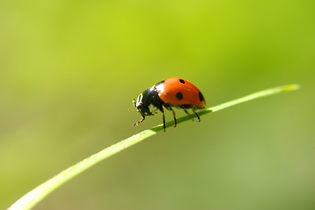 red ladybug which sits on a green leaf