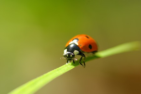 red ladybug which sits on a green leaf Stock Photo - 8257235