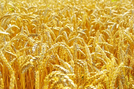 Fields of wheat at the end of summer fully ripe Stock Photo - 8257263