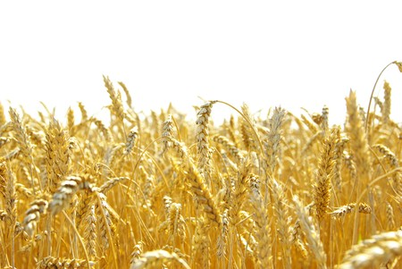 Fields of wheat at the end of summer fully ripe Stock Photo - 8257254