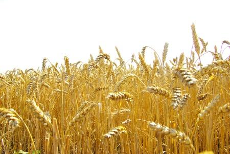 espiga de trigo: Campos de trigo al final del verano completamente madura Foto de archivo