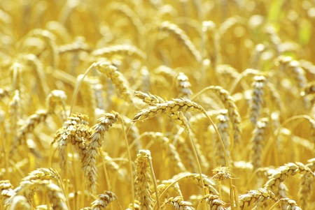 Fields of wheat at the end of summer fully ripe Stock Photo - 8804282