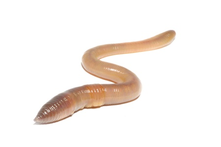 Close-up of worm on white