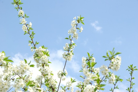 spring branch with white flowers photo