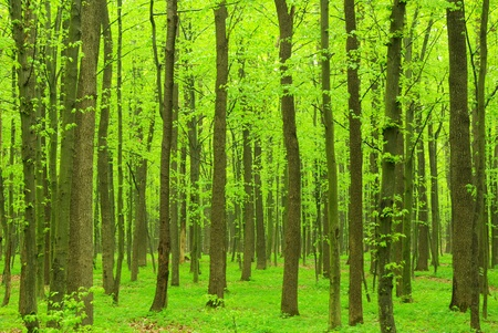 green trees background in forest Stock Photo - 9586475