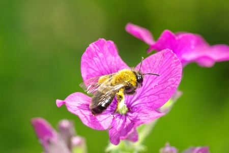 purple spring flowers with bee photo