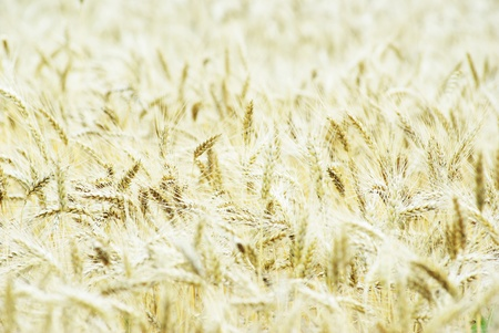 Fields of wheat at the end of summer fully ripe Stock Photo - 10435839