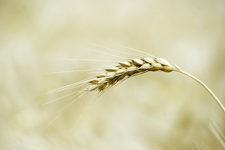Fields of wheat at the end of summer fully ripe Stock Photo - 10435804