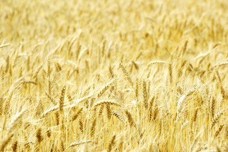 Fields of wheat at the end of summer fully ripe Stock Photo - 10493014
