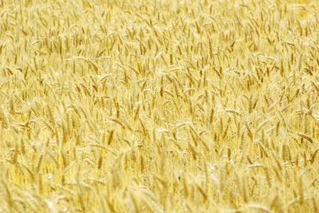 Fields of wheat at the end of summer fully ripe Stock Photo - 10493015