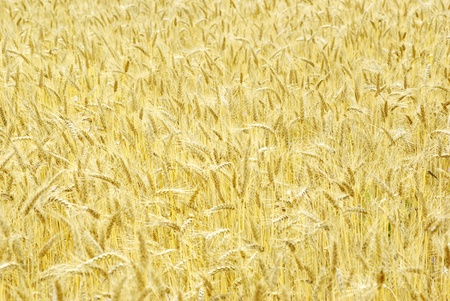 Fields of wheat at the end of summer fully ripe Stock Photo - 10498025