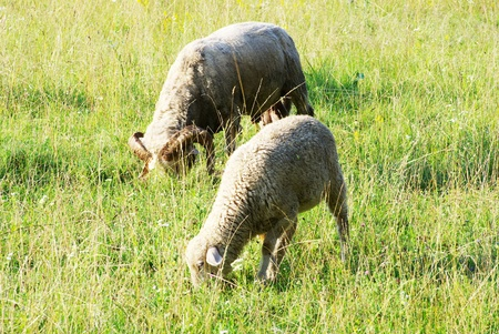 sheep in a green meadow photo