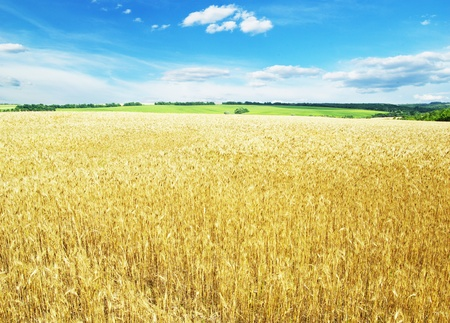 Fields of wheat at the end of summer fully ripe Stock Photo - 10527980