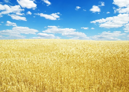 Fields of wheat at the end of summer fully ripe Stock Photo - 10527963