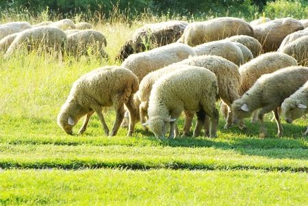 緑の牧草地に羊