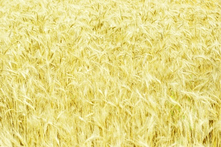 Fields of wheat at the end of summer fully ripe Stock Photo - 10580629