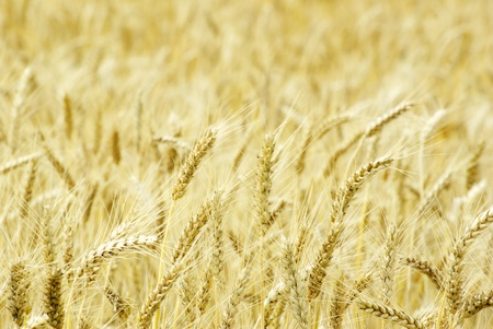 Fields of wheat at the end of summer fully ripe Stock Photo - 10580621