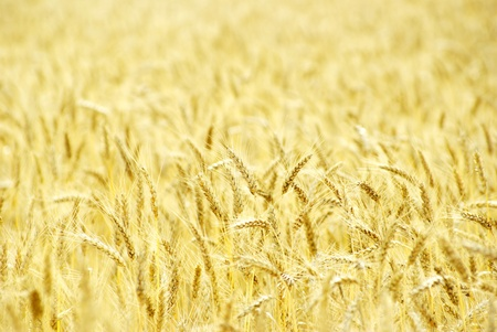 Fields of wheat at the end of summer fully ripe Stock Photo - 10580622