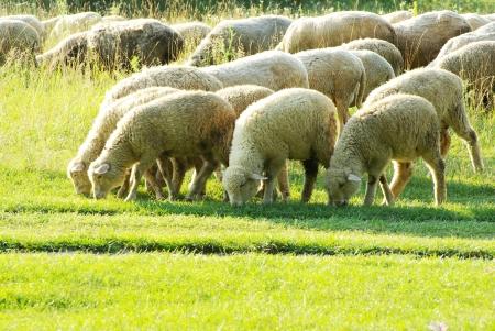 緑の牧草地で羊 写真素材