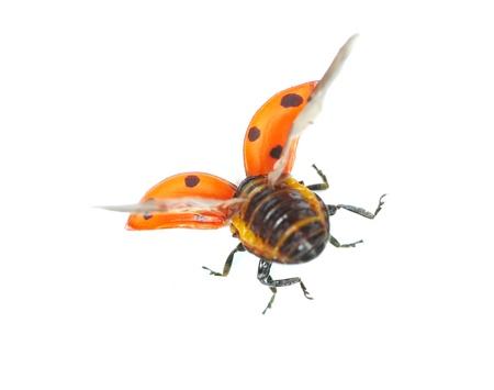 ladybug isolated on a white