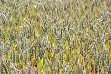 Fields of wheat at the end of summer fully ripe Stock Photo - 10682228