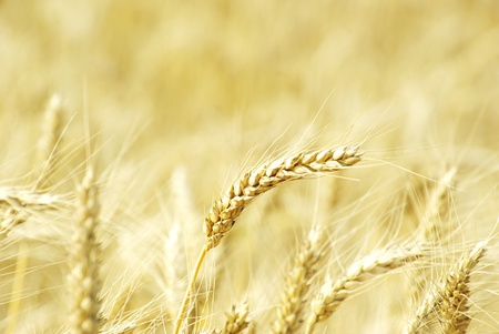 Fields of wheat at the end of summer fully ripe Stock Photo - 10682266
