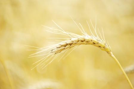 Les champs de blé à la fin de l'été à pleine maturité Banque d'images - 11042624