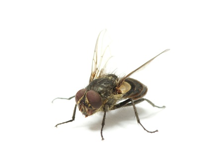 fly isolate on a white Stock Photo - 11188169