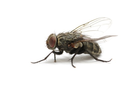fly isolate on a white Stock Photo - 11510599