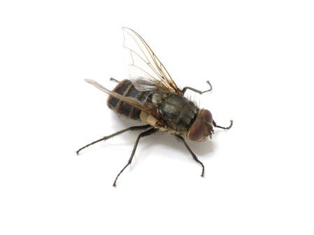 fly isolate on a white Stock Photo - 11510593