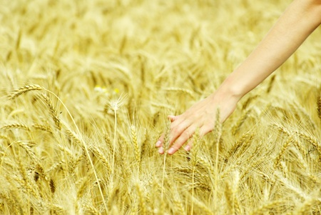 Fields of wheat at the end of summer fully ripe Stock Photo - 11510738
