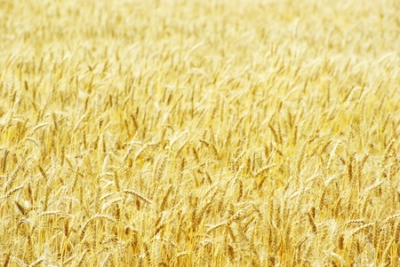 Fields of wheat at the end of summer fully ripe Stock Photo - 11510745