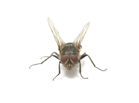 fly isolate on a white Stock Photo - 11512707