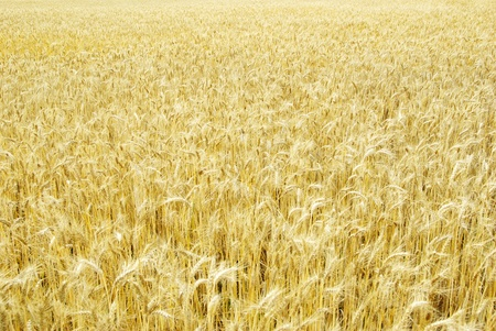 Fields of wheat at the end of summer fully ripe Stock Photo - 11942058