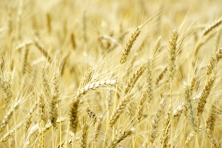 Fields of wheat at the end of summer fully ripe Stock Photo - 11942017