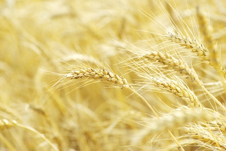 Fields of wheat at the end of summer fully ripe Stock Photo - 11942001