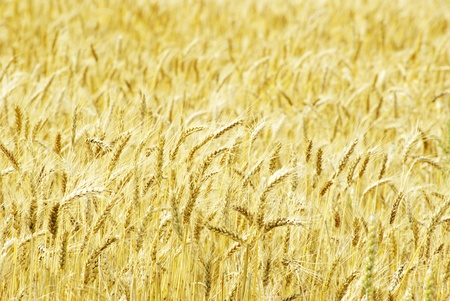 Fields of wheat at the end of summer fully ripe Stock Photo - 12847806