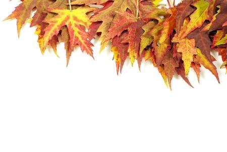 autumn maple leaves on white photo