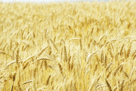 Fields of wheat at the end of summer fully ripe Stock Photo - 13151653