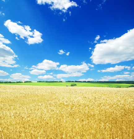 A field of golden wheat and blue sky photo