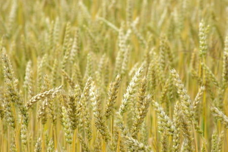 Fields of wheat at the end of summer fully ripe Stock Photo - 14800784