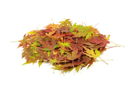autumn maple leaf isolated on white background photo