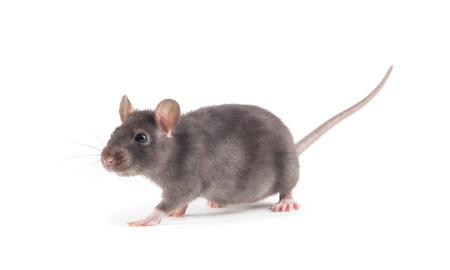 rat close-up isolated on white background photo