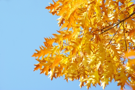 Yellow maple leaves on a twig in autumn photo
