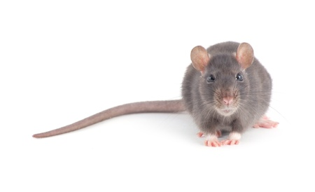 rat isolated on white background Stock Photo - 18655853