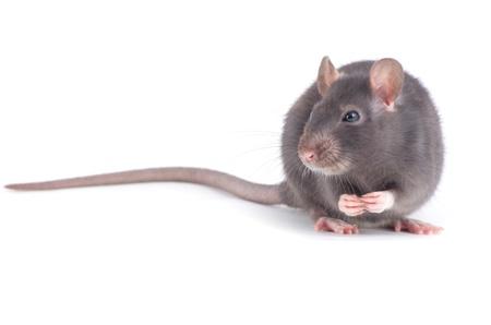 Rat isolé sur fond blanc Banque d'images - 19251513