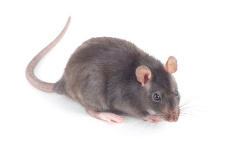 Rat isolé sur fond blanc Banque d'images - 19251561