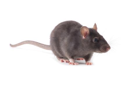 Rat close-up isolé sur fond blanc Banque d'images - 40406003