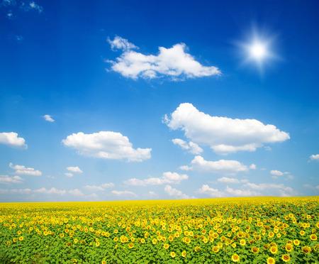 sun sky: field of sunflowers and blue sun sky Stock Photo