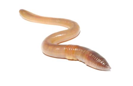 Close-up van worm op wit